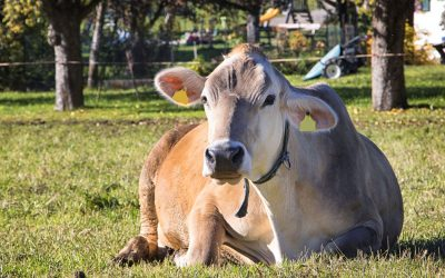 Italcarni. Conoscere i bovini