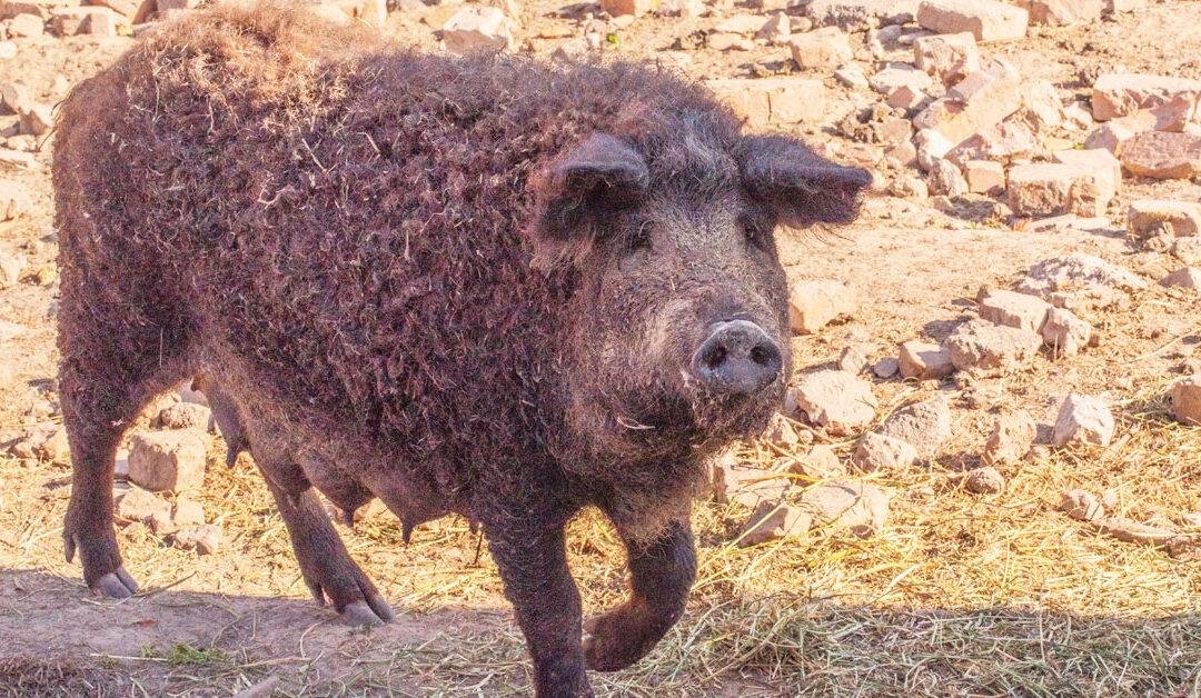 Il Mangalitsa: la carne di maiale più prelibata del mondo